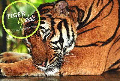 Tiger Photo on Veronica N. Davis website
