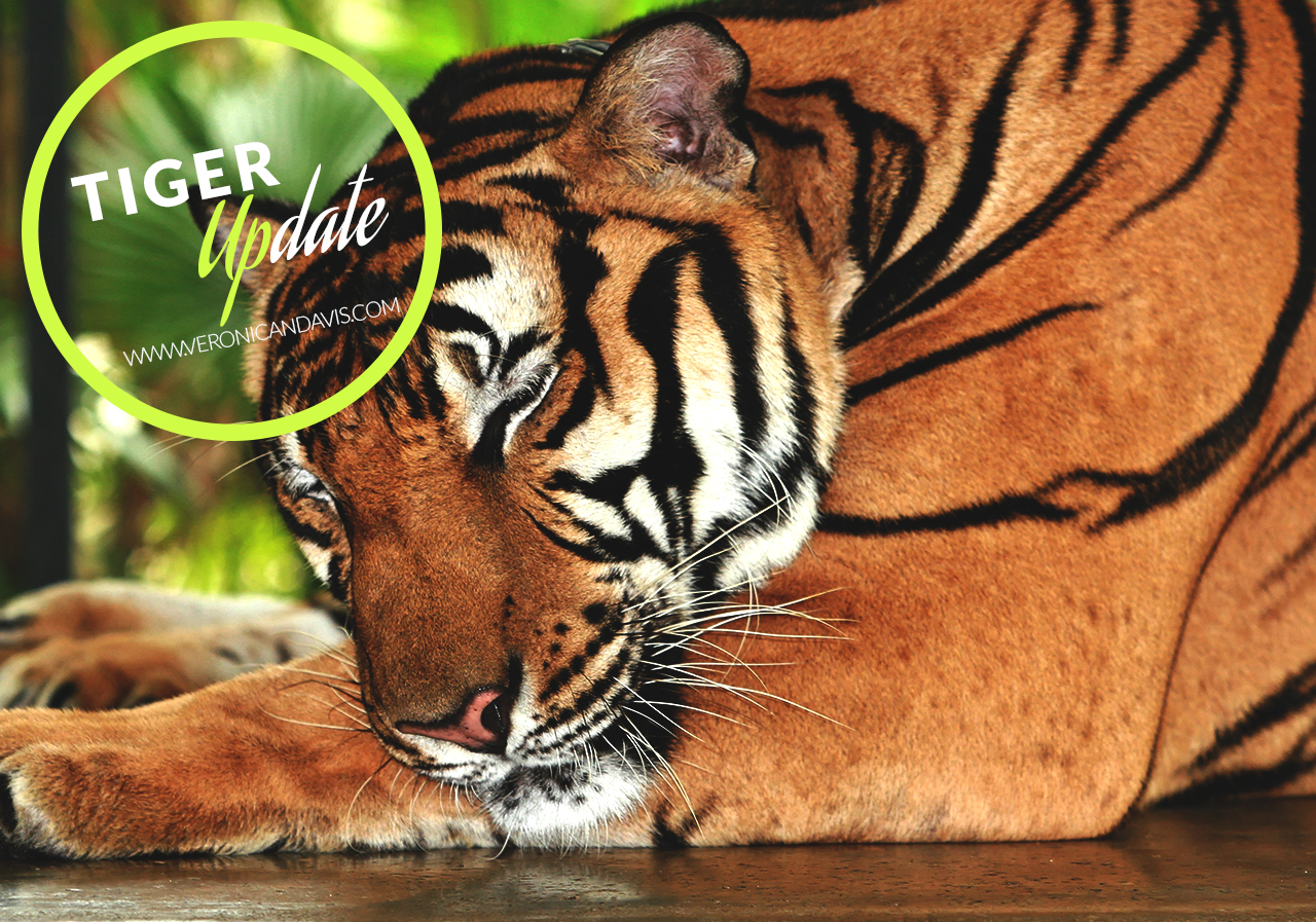 Wild Tiger Number Rises In India